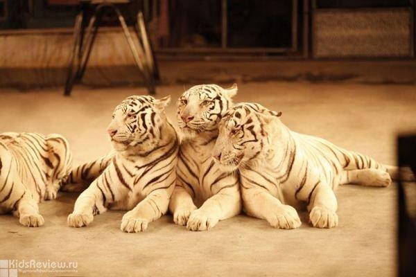 """""""Белые тигры"""", представление для детей и взрослых в Сочинском цирке, Сочи"""